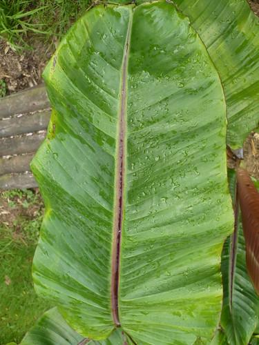 bananier musa helen's hybrid