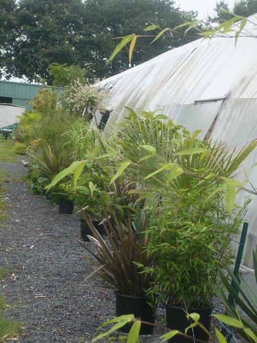 plantes divers (saule crevette tige, phormium)