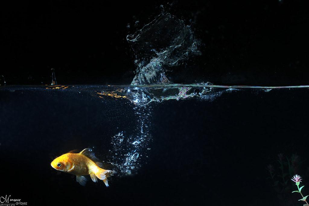 yellow fish playing photo by Mansour Al-Fayez