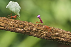 Ant Olympics photo by klythawk
