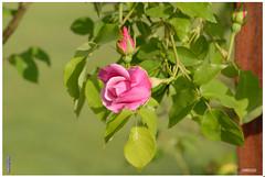 Roses de l'été... photo by Jean-Jacques DELCAMPE