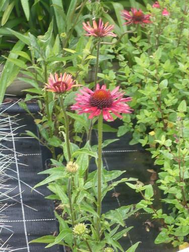 echinacea.hot summer
