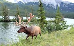 Elk!  Jasper National Park photo by kcezary
