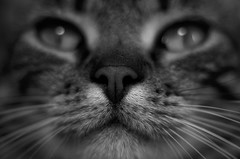 Cat close-up photo by Guillaume Angibert