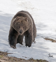 Springtime Yellowstone Grizzly Bear - 4687b+sg photo by teagden
