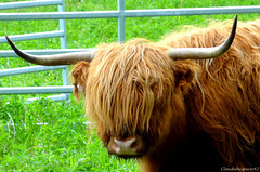 Highland Cattle: the coolest cow on earth! photo by Cloudwhisperer67
