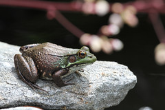 green frog female photo by Denise Pelley