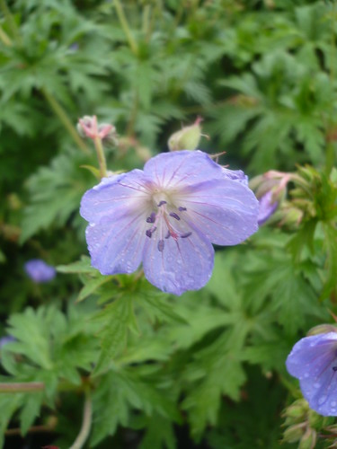geranium vivace johnson blue
