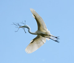 Great Egret photo by channel locks