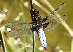 Male Broad-Bodied Chaser . Explored 22.7.12 photo by claylaner