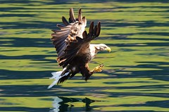 White Tailed Sea Eagle photo by charlie.syme