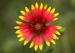 Indian Blanket Wildflower photo by TexasEagle