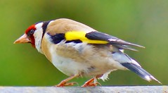 Goldfinch photo by Paul (Barniegoog)