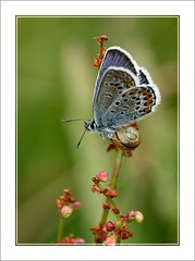 Silver Studded Blue photo by paul_fenn