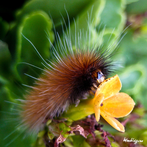 Caterpillar - Chenille photo by monteregina