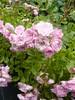 rosier buisson