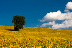 sunflower field photo by rattoeur