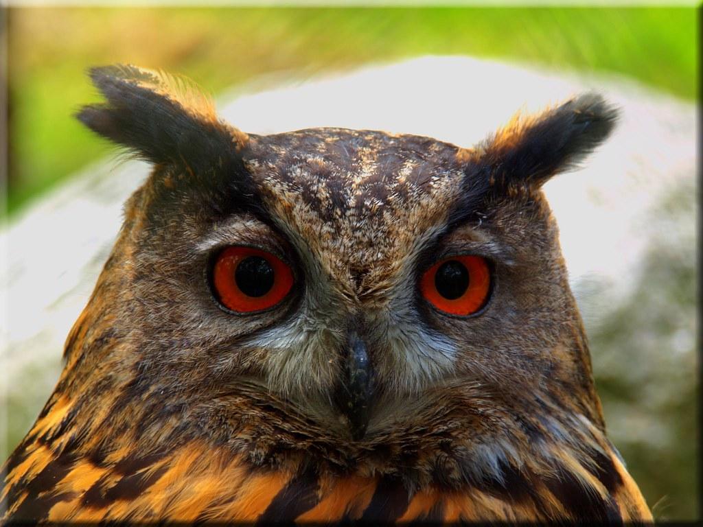 Portrait of an owl photo by Ostseetroll