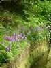 Dactylorhiza foliosa (Orchidées terrestres)