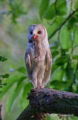BARN OWL  (Tyto alba) photo by Trevsbirds