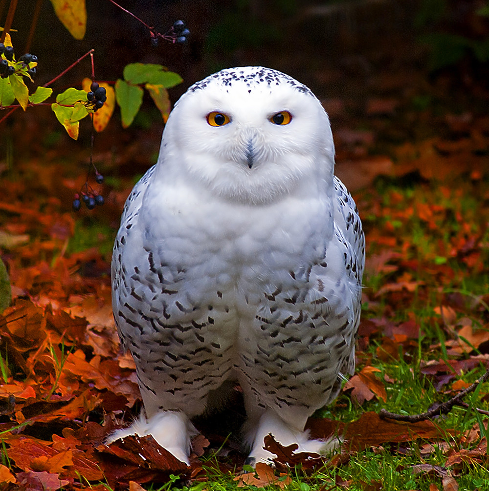 Snowy Owl in Autumn (EXPLORE) photo by Steve Wilson - over 7 million views Thanks !!