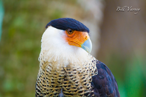 Do You Like My Toupee photo by Bill Varney