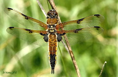 Four-Spotted Chaser at Styal . Explored 26.06.12 photo by claylaner