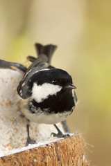 Coal Tit 22nd-April-12 photo by linlaw39