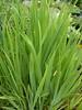 iris jaune ou bleu