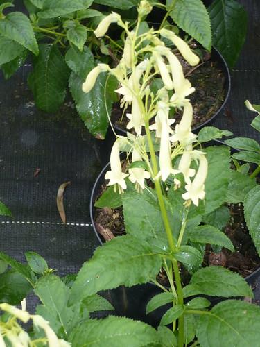 phygelius aequalis yellow trumpet (fuchsia du cap)
