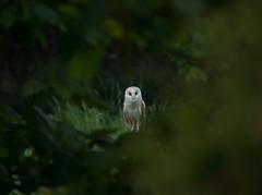 Barn Owl photo by Darren Olley (offline)