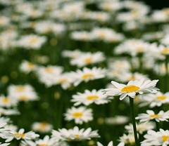 White Daisy photo by j man.