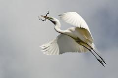 Great Egret photo by channel locks