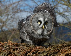 Great Grey Owl photo by SAM Images