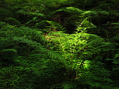 Sunlight on green Fern photo by Batikart