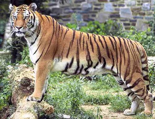 Tiger_panthera_tigris_tigris_Bengal