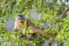 Capuchin monkey in the tree II photo by Tambako the Jaguar