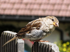 Sparrow on the Fence: Summer is really over ? photo by Batikart