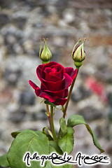 Red Rose photo by adequatelyaverage