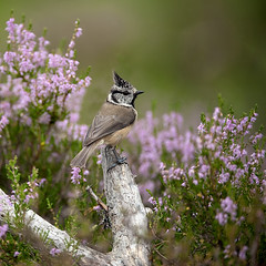 Crested Tit on perch in amongst the heather photo by Margaret J Walker