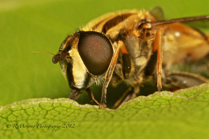 Bee/Hooverfly - Head on - Explored Sept 12, 2012 photo by In10ctee
