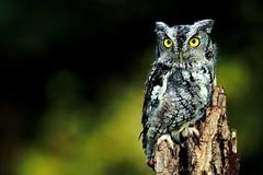 Screech Owl photo by Matt Tiegs