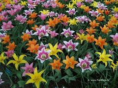 Dutch Tulips, Keukenhof Gardens, Holland - 0756 POTD photo by HereIsTom