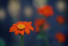 Orange Zinnia photo by j man.