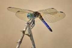 Blue Dasher Dragonfly, Fairchild Tropical Botanic Garden. photo by pedro lastra