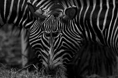 Zebra Mashup photo by Pixilista