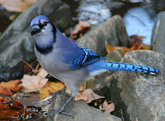 Love the Blue !! Blue Jay at Armstrong Park in High Point North Carolina photo by fazer53