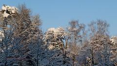 Winter in Holland, Snow trees, Zeist - 374 photo by HereIsTom