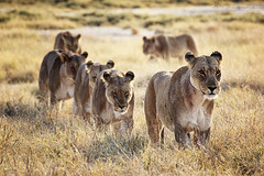 #13. Being surrounded by a pride of 20 lions [Explored #183 19-11-12] photo by ..illi..