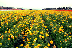 Yellow Ranunculus Field photo by TheJudge310